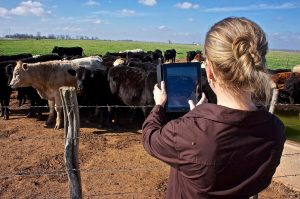Tinder-for-cows